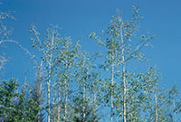 A group of aspens with moderate defoliation