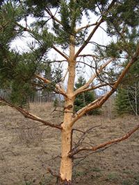 A tree damaged by a porcupine