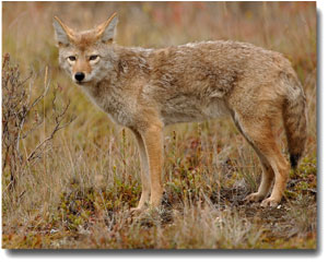 A coyote standing in grass