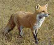 A fox in a grass field