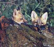 A group of fox pups hiding behind a log