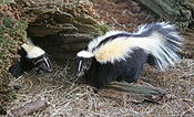 A group of skunks by a den